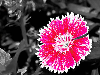 Photograph - Dianthus by Barry Jones