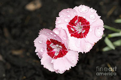 Dianthus Flowers Art Print by Denise Pohl