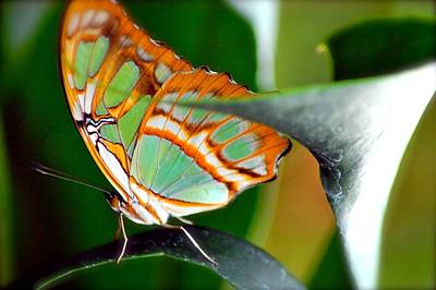 Photograph - Dido Longwing Butterfly by Peggy Franz