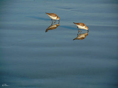 Photograph - Dinner For Two Sandpipers by Nancy Griswold