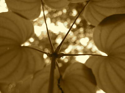 Photograph - Dioscorea In Sepia by JD Grimes