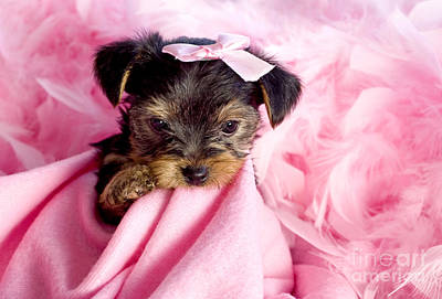 Photograph - Diva Puppy by Cheryl Davis