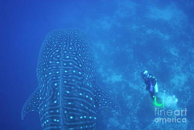 Diver Filmming A Whale Shark Art Print by Sami Sarkis