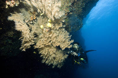 Malapascua Island Photograph - Diver Next To A Coral Fan Sheltering by Tim Laman