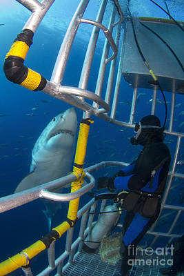 Cage Diving Photograph - Diver Observes A Male Great White Shark by Todd Winner