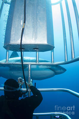 Cage Diving Photograph - Diver Taking A Photo Of A Male Great by Todd Winner