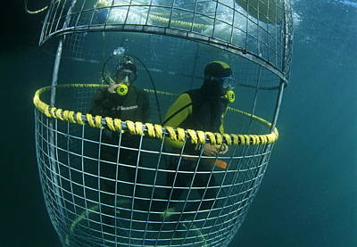 Cage Diving Photograph - Divers In A Shark Cage by Alexis Rosenfeld