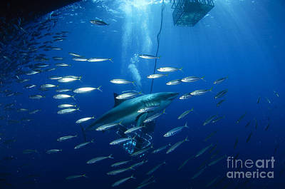 Photograph - Divers Viewing Great White Shark by Todd Winner