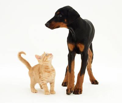 Doberman Pinscher Puppy Photograph - Doberman And Kitten by Jane Burton