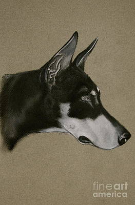 Drawing - Doberman by Susan Herber
