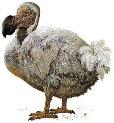 Photograph - Dodo Bird by Photo Researchers