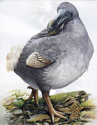 Dodo Art Print by Photo Researchers