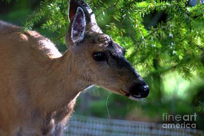 Photograph - Doe A Deer by Sharon Talson