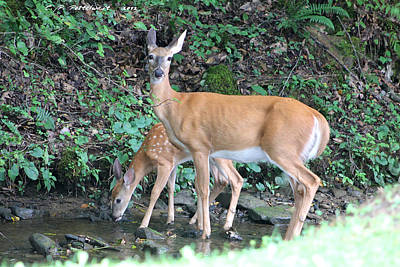 Doe And Fawn In The Creek Art Print by Carolyn Postelwait