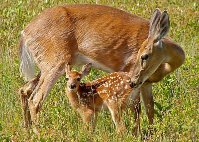 Nursing Deer Photograph - Doe And Fawn by Jack Nevitt