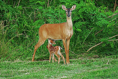 Doe And Nursing Fawn Art Print by Fred Kirchhoff