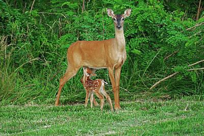 Nursing Deer Photograph - Doe And Nursing Fawn by Fred Kirchhoff