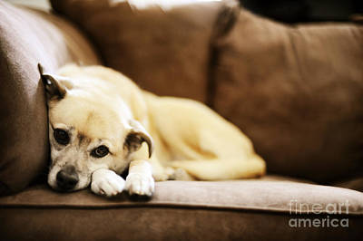 Cute Puppy Photograph - Dog On The Couch by HD Connelly