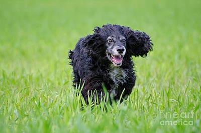 Dog Running On The Green Field Art Print by Mats Silvan