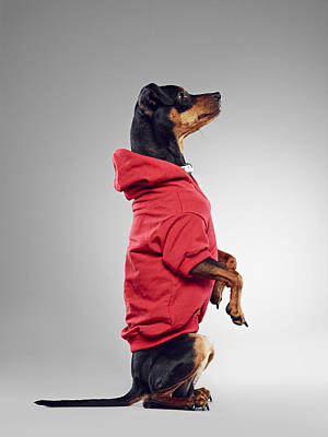 Y120831 Photograph - Dog Wearing Hooded Sweatshirt by 24frames