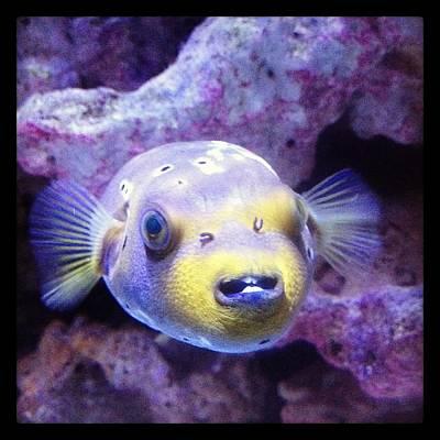 Photograph - Dogface Puffer Fish by Lora Mercado