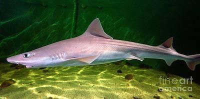 Dogfish Shark In Aquarium Art Print by Matt Suess