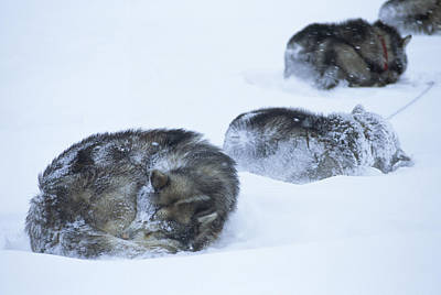 Dogs Sleep In Blizzard On Frozen Ocean Art Print by Gordon Wiltsie