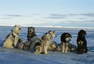 Dogsled Dogs Harnessed And Ready Art Print by Norbert Rosing