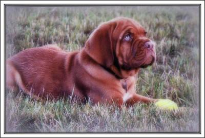 Photograph - Dogue De Bordeaux by Kay Novy
