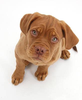 Dogue De Bordeaux Puppy Print by Mark Taylor