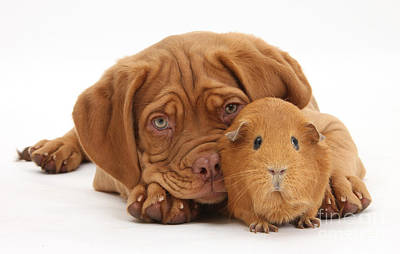 Photograph - Dogue De Bordeaux Puppy With Red Guinea by Mark Taylor