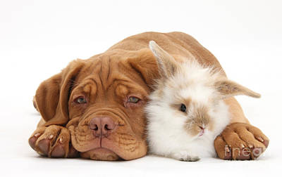 Photograph - Dogue De Bordeaux Puppy With Bunny by Mark Taylor