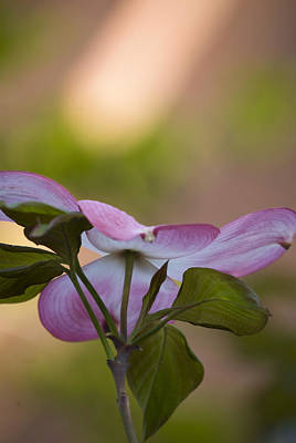 Photograph - Dogwood 1 by Lisa Missenda