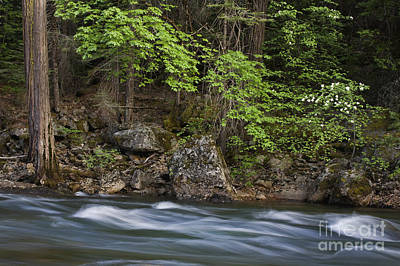 Photograph - Dogwood And Merced River - Yosemite by Craig Lovell