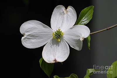 Photograph - Dogwood Bloom by Randy Bodkins