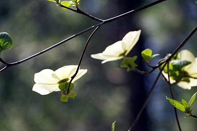 Photograph - Dogwood Blooms by Michael Courtney