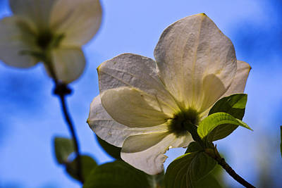 Dogwood Photograph - Dogwood II by Rick Berk