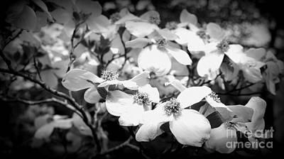 Photograph - Dogwood by J Kinion