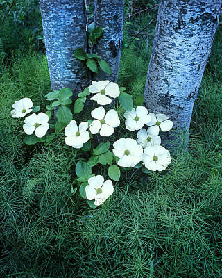 Photograph - Dogwood by Joe  Palermo