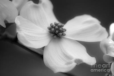 Photograph - Dogwood by Karen Lewis