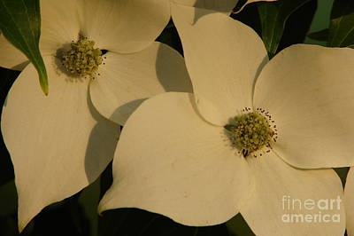 Photograph - Dogwood by Priscilla Richardson
