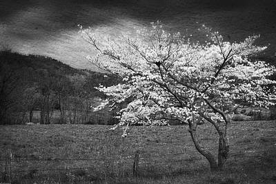 Photograph - Dogwood Tree Bw Version by Gray  Artus