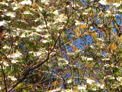 Landscape Photograph - Dogwoods In Bloom by Barry Jones