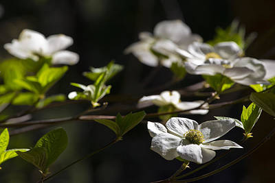 Photograph - Dogwoods by Rick Berk