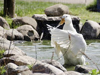 Drake Photograph - Doin The Duck Splash by LeeAnn McLaneGoetz McLaneGoetzStudioLLCcom
