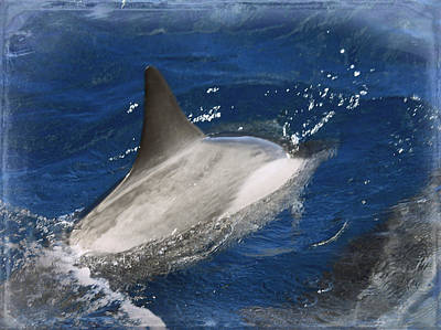 Photograph - Dolphin Escort by Paulette B Wright