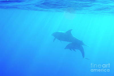 Dolphin Mother And Calf Art Print by Sami Sarkis