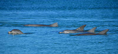 Monkey Mia Photograph - Dolphins by Angela White