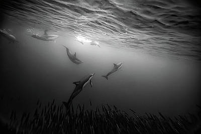 Undersea Photograph - Dolphins Re-grouping Afterorchestrated Attack by Paul Cowell Photography
