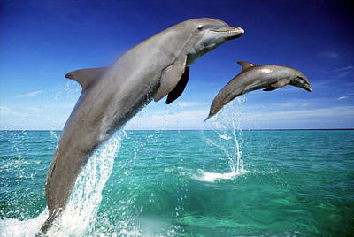 Dolphins, Tursiops Truncatus, Two Leaping Out Of Sea Art Print by Mike Hill